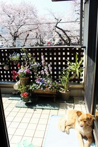 IMG_8996桜