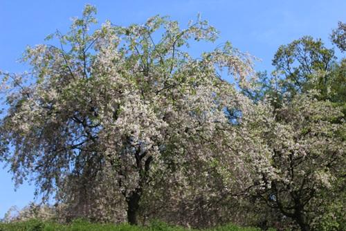IMG_9201桜