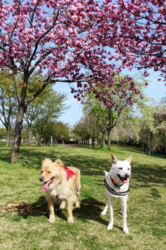 IMG_9200桜