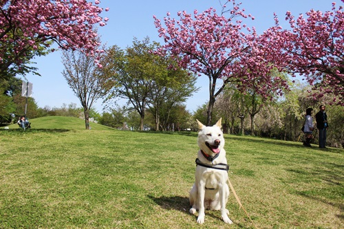 IMG_9178桜