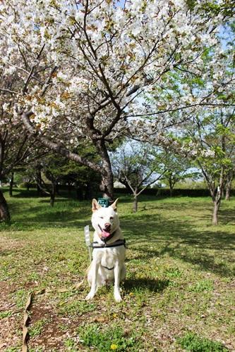 IMG_9189桜