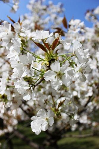 IMG_9192桜