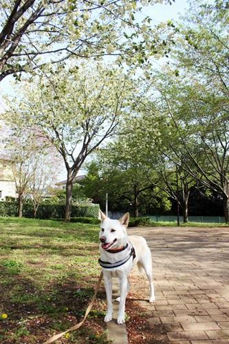 IMG_9196桜
