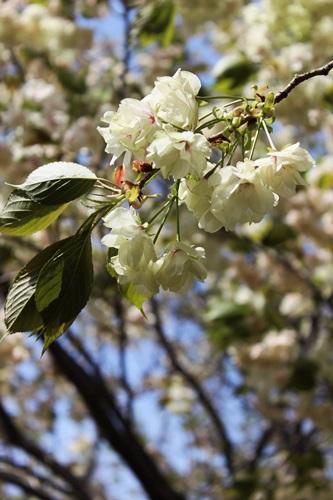 IMG_9194桜