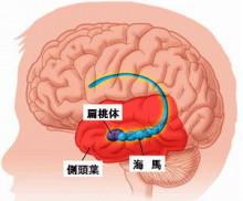 女性ホルモンは脳で作られる??