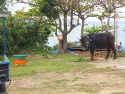 水牛車の牛