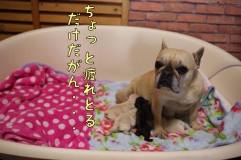 フレンチブルドッグ愛知 3