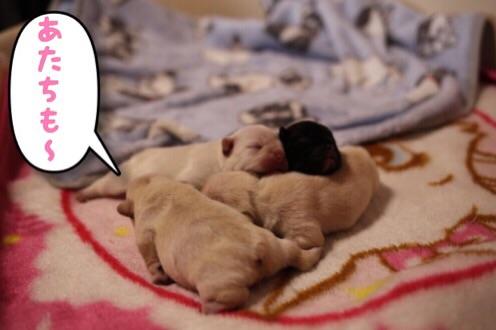 フレンチブルドッグ 子犬 兄妹 3