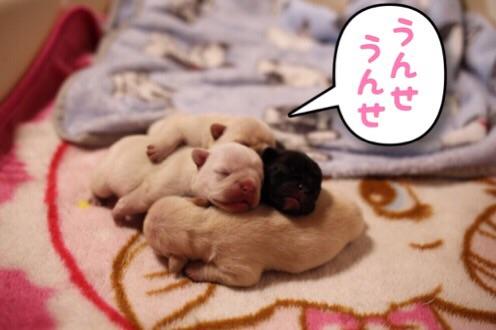 フレンチブルドッグ 子犬 兄妹 4