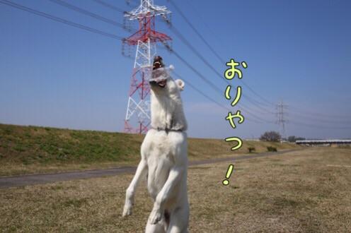 ホワイトシェパード 3