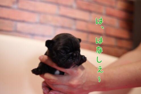 フレンチブルドッグ 子犬 愛知 2