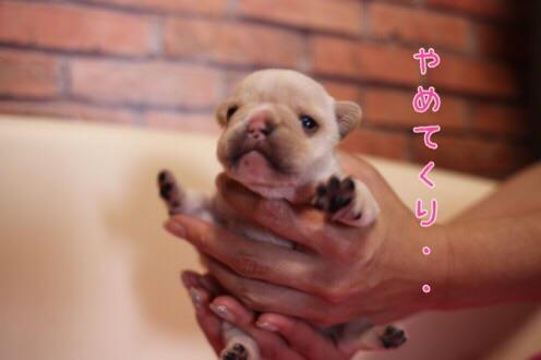 フレンチブルドッグ 子犬 愛知 3