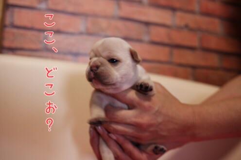 フレンチブルドッグ 子犬 愛知 4
