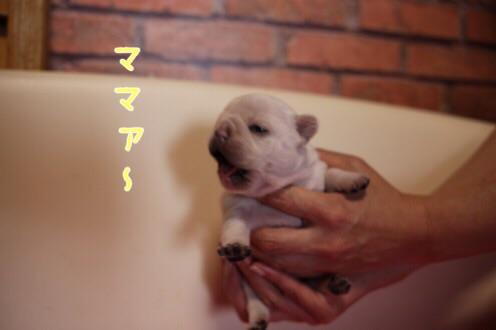 フレンチブルドッグ 子犬 愛知 5