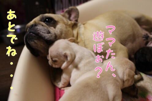 母犬 フレブル 子育て 1