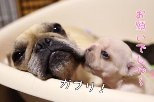 母犬 フレブル 子育て 3