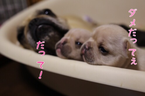 母犬 フレブル 子育て 4