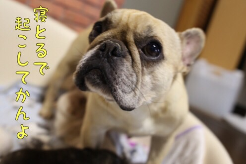 フレンチブルドッグ チャンピオン 子犬 2