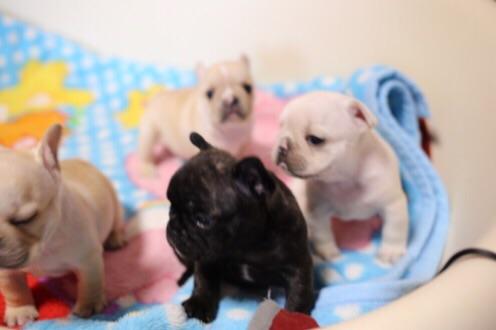 フレブル 4兄妹 子犬 2