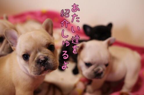 フレブル 子犬 紹介 1