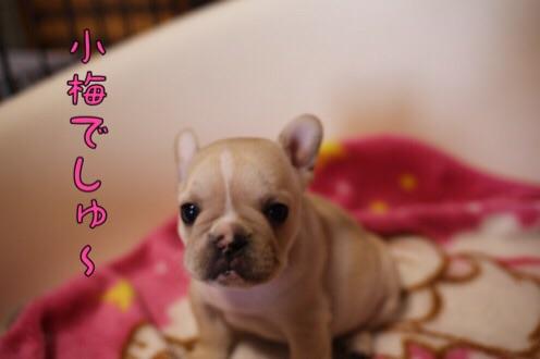 フレブル 子犬 紹介 2