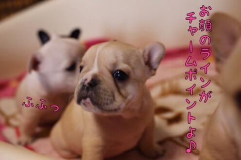 フレブル 子犬 紹介 3