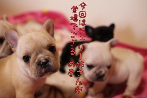 フレンチブルドッグ 子犬 チェリー 1