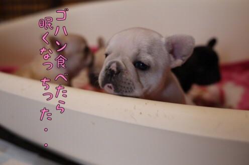 フレンチブルドッグ 子犬 チェリー 3
