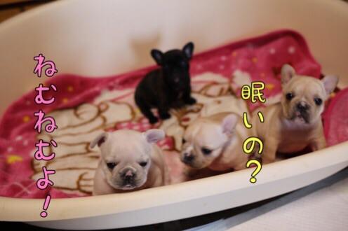 フレンチブルドッグ 子犬 チェリー 4