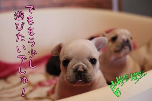 フレンチブルドッグ 子犬 チェリー 5