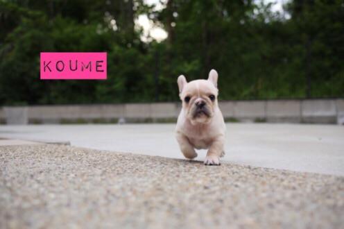フレンチブルドッグ 子犬 愛知 ブリーダー 1