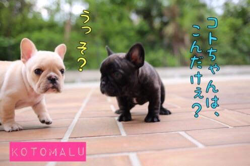フレンチブルドッグ 子犬 愛知 ブリーダー 4