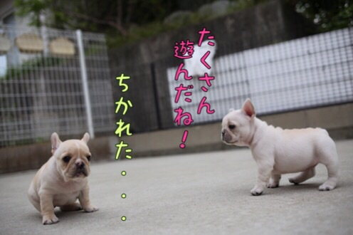 フレンチブルドッグ 子犬 愛知 ブリーダー 5