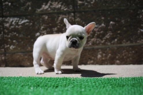 チェリー フレブル 子犬 1