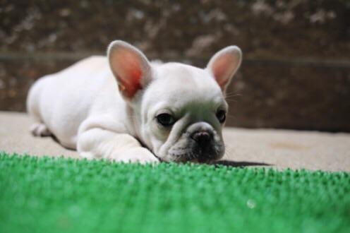 チェリー フレブル 子犬 3