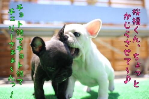 チェリー フレブル 子犬 5