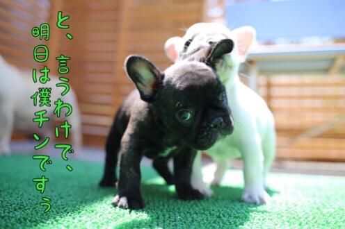 チェリー フレブル 子犬 6