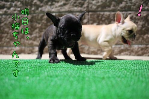 桜福 フレブル 子犬 5