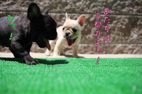 桜福 フレブル 子犬 6
