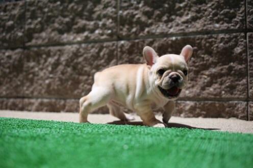 小梅 フレブル 子犬 8