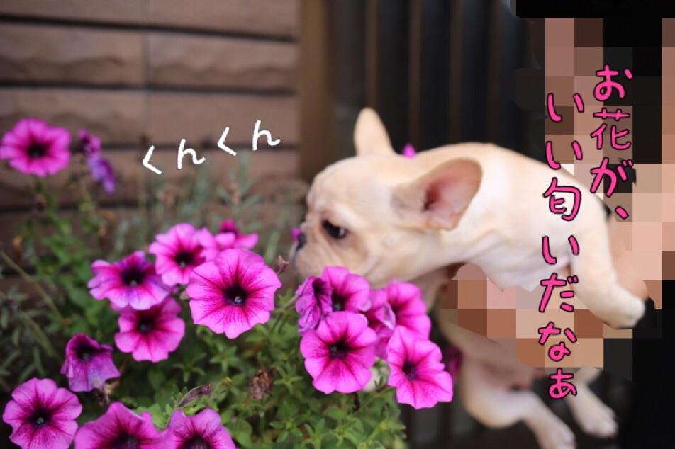 フレブル ブリーダー 愛知県 子犬 1