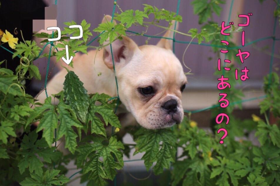 フレブル ブリーダー 愛知県 子犬 2