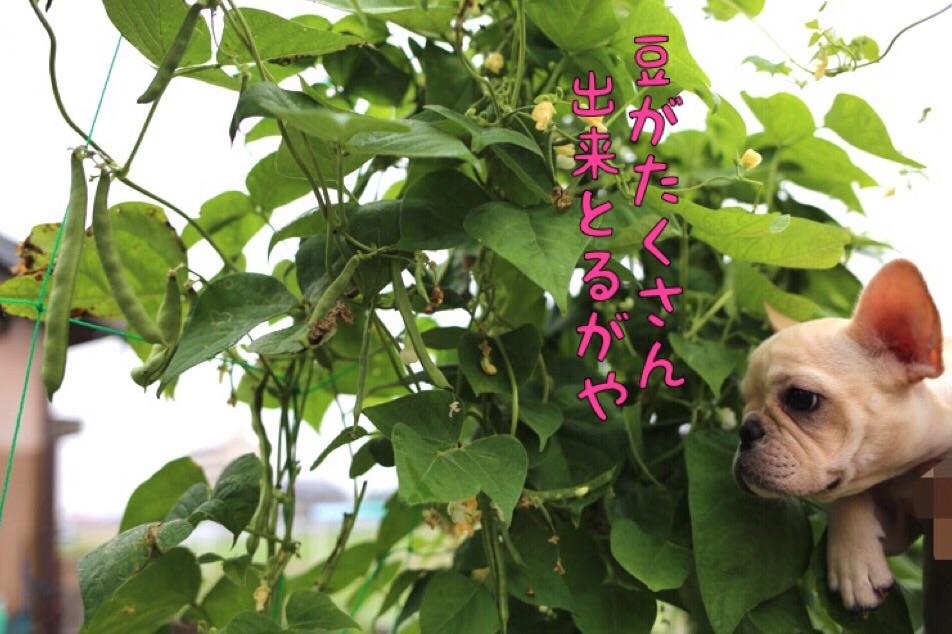 フレブル ブリーダー 愛知県 子犬 3