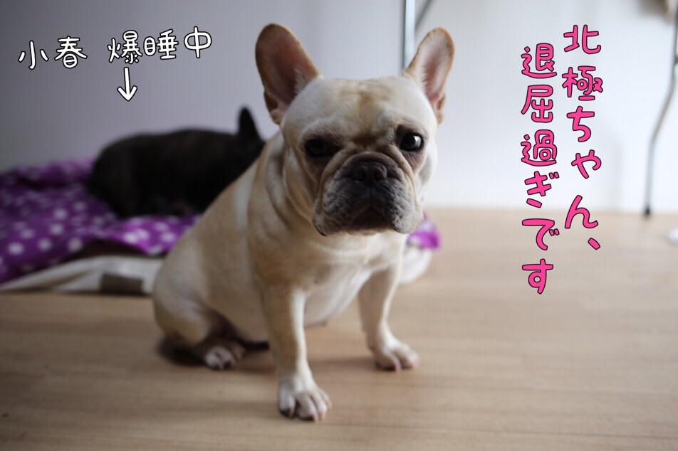 フレンチブルドッグ 愛知県 ブリーダー チャンピオン 2