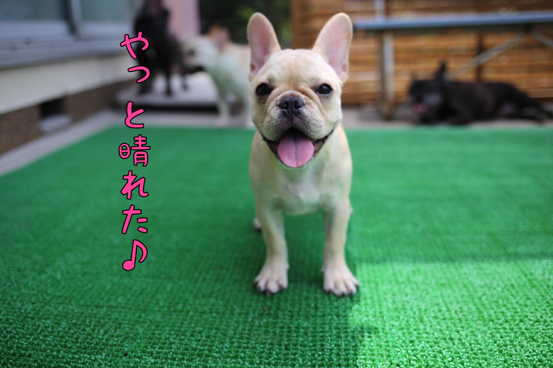 フレンチブルドッグ 愛知県 子犬 1