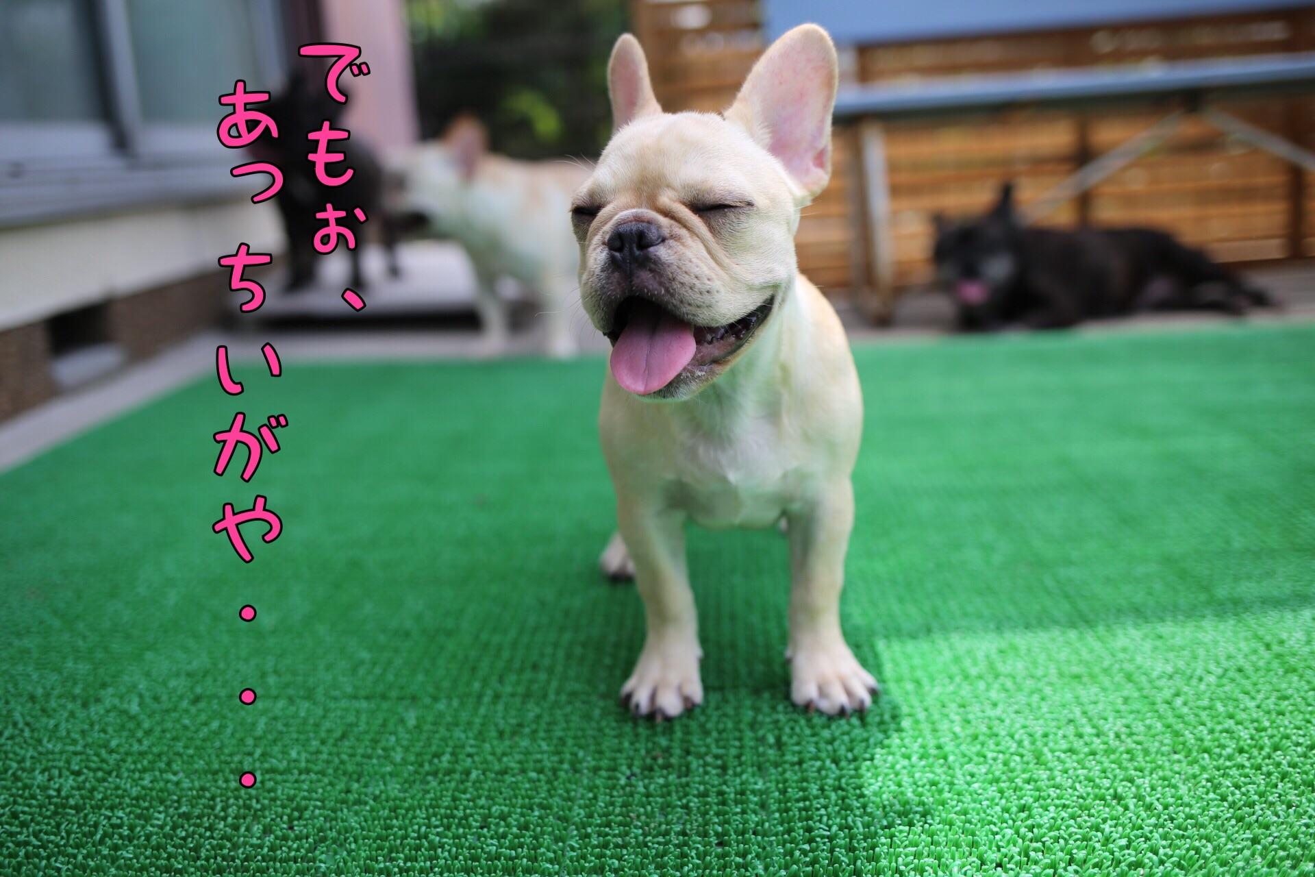 フレンチブルドッグ 愛知県 子犬 2