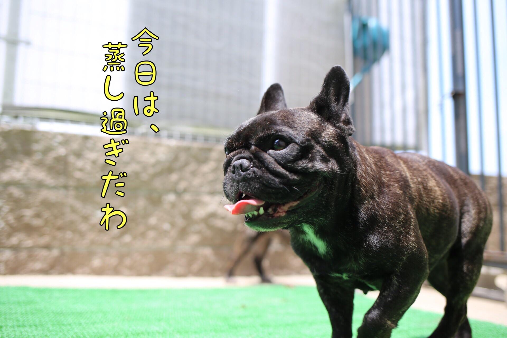 フレンチブルドッグ 愛知県 子犬 3