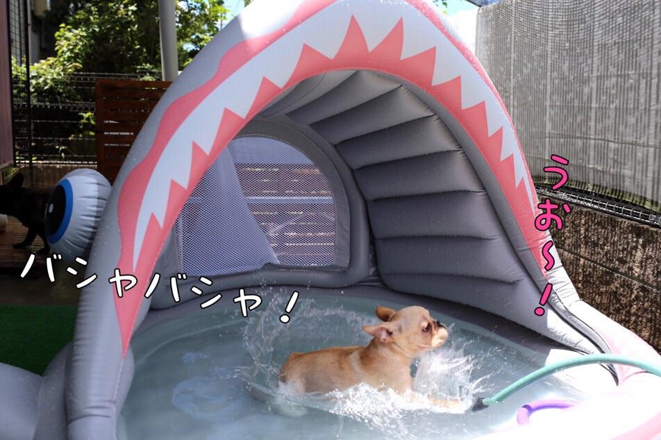 フレブル プール 子犬 クリーム 2