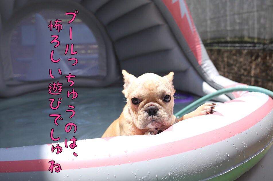 フレブル プール 子犬 クリーム 3