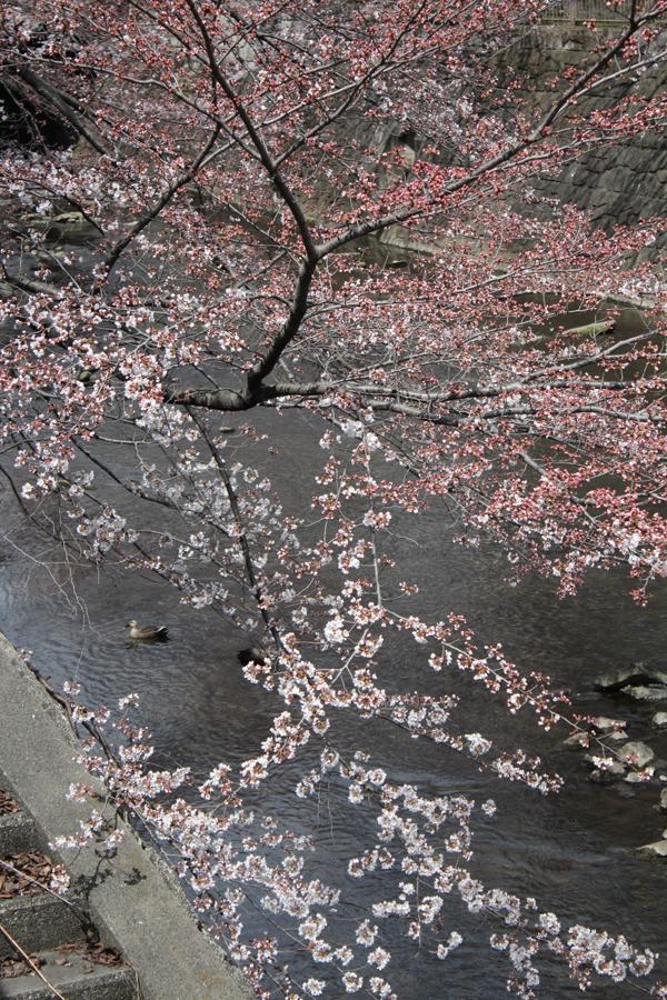 07 桜 のコピー
